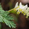 "Dutchmans Breeches Lots more  <a href=""http://williambritten.com/wordpress/smoky-mountains/wildflowers/"">Smoky Mountains photos of wildflowers </a> over on my blog site."