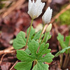 "Bloodroot Lots more  <a href=""http://williambritten.com/wordpress/smoky-mountains/wildflowers/"">Smoky Mountains photos of wildflowers </a> over on my blog site."
