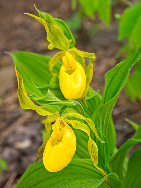 "Yellow Lady's Slipper. Lots more  <a href=""http://williambritten.com/wordpress/smoky-mountains/wildflowers/"">Smoky Mountains photos of wildflowers </a> over on my blog site."