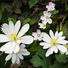"Bloodroot and Spring Beauty This is one of the earliest wildflowers in the Great Smoky Mountains National Park.  Look for it in late March along the Porters Creek trail in the Greenbrier section of the park. Lots more  <a href=""http://williambritten.com/wordpress/smoky-mountains/wildflowers/"">Smoky Mountains photos of wildflowers </a> over on my blog site."