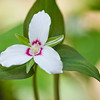 "Painted Trillium This one is more rare and difficult to find.  Taken along the Porter's Creek trail in the Greenbrier section of the Great Smoky Mountains National Park. Lots more  <a href=""http://williambritten.com/wordpress/smoky-mountains/wildflowers/"">Smoky Mountains photos of wildflowers </a> over on my blog site."