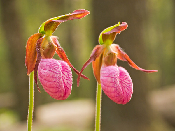 Pink Lady's Slipper. Lots more  Smoky Mountains photos of wildflowers  over on my blog site.