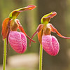 "Pink Lady's Slipper. Lots more  <a href=""http://williambritten.com/wordpress/smoky-mountains/wildflowers/"">Smoky Mountains photos of wildflowers </a> over on my blog site."