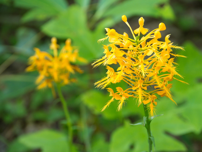 """Yellow Fringed Orchid Lots more  <a href=""""http://williambritten.com/wordpress/smoky-mountains/wildflowers/"""">Smoky Mountains photos of wildflowers </a> over on my blog site."""