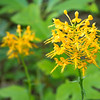"Yellow Fringed Orchid Lots more  <a href=""http://williambritten.com/wordpress/smoky-mountains/wildflowers/"">Smoky Mountains photos of wildflowers </a> over on my blog site."