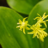 "Yellow Clintonia or Blue Bead Lily Lots more  <a href=""http://williambritten.com/wordpress/smoky-mountains/wildflowers/"">Smoky Mountains photos of wildflowers </a> over on my blog site."