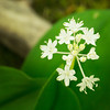 "Speckled Wood Lily or White Clintonia Lots more  <a href=""http://williambritten.com/wordpress/smoky-mountains/wildflowers/"">Smoky Mountains photos of wildflowers </a> over on my blog site."