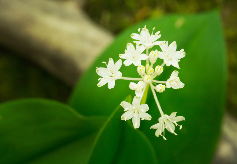 """Speckled Wood Lily or White Clintonia Lots more  <a href=""""http://williambritten.com/wordpress/smoky-mountains/wildflowers/"""">Smoky Mountains photos of wildflowers </a> over on my blog site."""