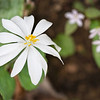 "Bloodroot This is one of the earliest wildflowers in the Great Smoky Mountains National Park.  Look for it in late March along the Porters Creek trail in the Greenbrier section of the park. Lots more  <a href=""http://williambritten.com/wordpress/smoky-mountains/wildflowers/"">Smoky Mountains photos of wildflowers </a> over on my blog site."