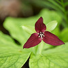 "Wake Robbin Trillium Great Smoky Mountains National Park. Lots more  <a href=""http://williambritten.com/wordpress/smoky-mountains/wildflowers/"">Smoky Mountains photos of wildflowers </a> over on my blog site."