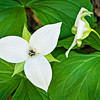 "White Erect Trillium Lots more  <a href=""http://williambritten.com/wordpress/smoky-mountains/wildflowers/"">Smoky Mountains photos of wildflowers </a> over on my blog site."