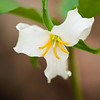 "White Trillium Horizontal view of a springtime classic in the Great Smoky Mountains National Park Lots more  <a href=""http://williambritten.com/wordpress/smoky-mountains/wildflowers/"">Smoky Mountains photos of wildflowers </a> over on my blog site."