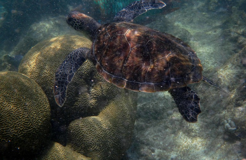 """Young turtles around Bonaire were born elsewhere and have likely spent several years at sea.<br /> <br /> """"It is not from ourselves that we learn to be better than we are."""" ~ Wendell Berry"""