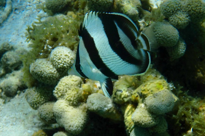 Banded Butterflyfish -- Chaetodon striatus
