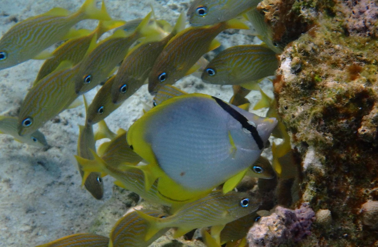 Spotfin Butterflyfish -- Chaetodon ocellatus