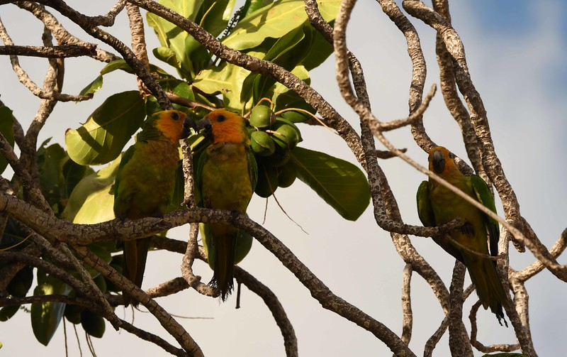 "Brown-throated Parakeets -- Aratinga pertinax, on Indian Almond -- Terminalia catappa<br /> <br /> ""Birds, despite human disturbance past and present, play a leading role in the life of all the islands. Once upon a time, there were parrots everywhere."" ~ Bright/Bass/Alexander, ""Wild Caribbean"", 2006."