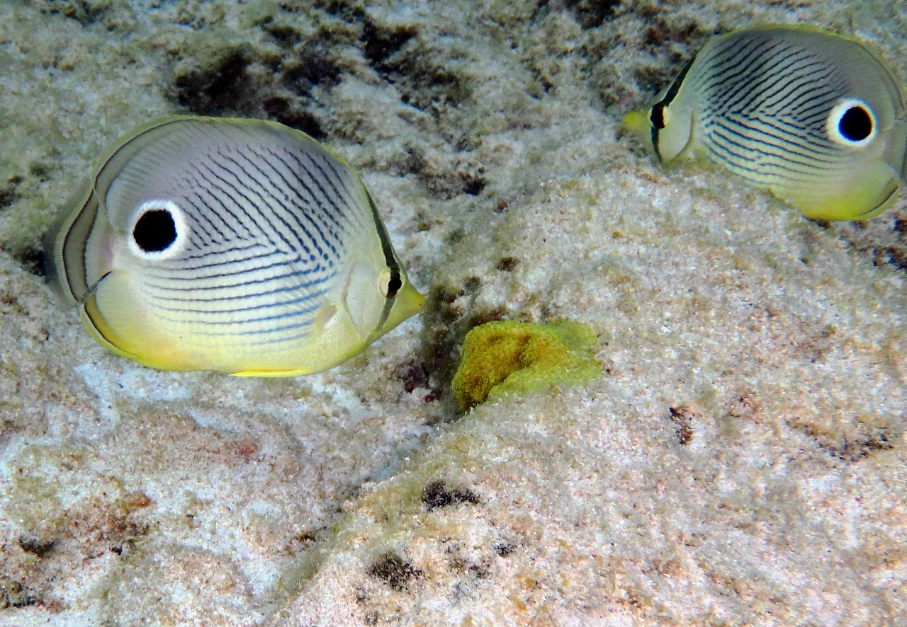 "Foureye Butterflyfish -- Chaetodon capistratus<br /> <br /> ""We will also need a new post-materialistic economics, if that is not a contradiction in terms, in which economic philosophers put back into the picture all that Adam Smith and his disciples have left out: the full economy of nature, the intrinsic worth of all beings, the beauty and wonder of the cosmos. The environmental crisis is making the modern mind obsolete. It demands a new economics, a new science, a new world-view to replace materialism."" ~ Donald Worster, ""The Wealth of Nature"", 1993."