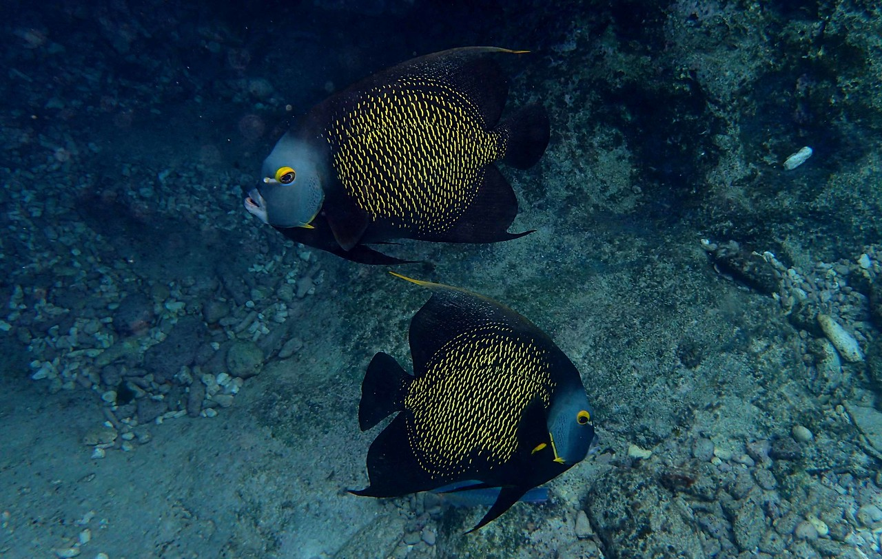 a pair of French Angelfish -- Pomacanthus paru, may form extended and possibly lifelong monogamous relationships