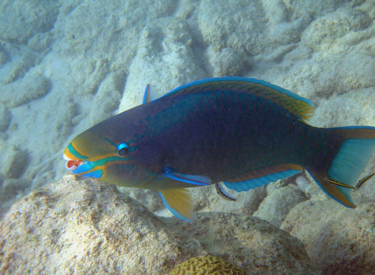 Queen Parrotfish (Terminal Phase) -- Scarus ventula, getting cleaned by juvenile wrasses.<br /> <br /> Mutualistic symbiosis should serve as an example for humans -- cooperative living is not just beneficial, but essential to systemic longevity.