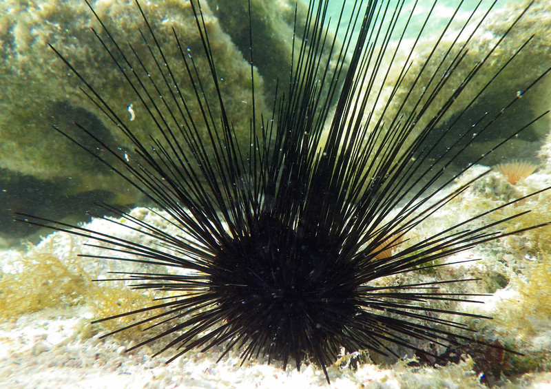 Long-spined Urchin -- Diadema antillarum<br /> <br /> After parrotfish, the most important herbivores on the reef are the sea urchins. They are fairly rare around Bonaire and continuous study is vital in both protected and unprotected areas.