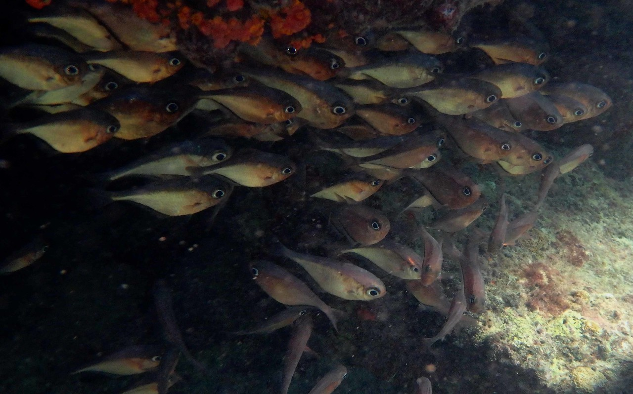 """Glassy Sweepers -- Pempheris schomburgkii, hang near recesses during the day and forage mainly at night<br /> <br /> 'The deep moans round with many voices. Come, my friends,<br /> 'Tis not too late to seek a newer world...' ~ from """"Ulysses"""" by Alfred Tennyson"""
