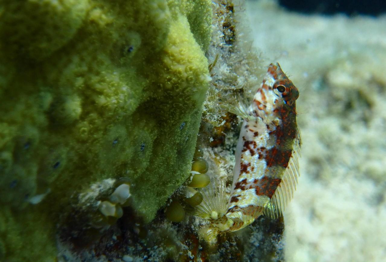 Saddled Blenny -- Malacoctenus triangulatus