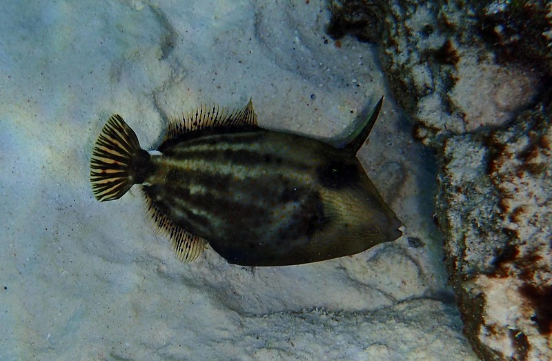 Orangespotted Filefish -- Cantherhines pullus