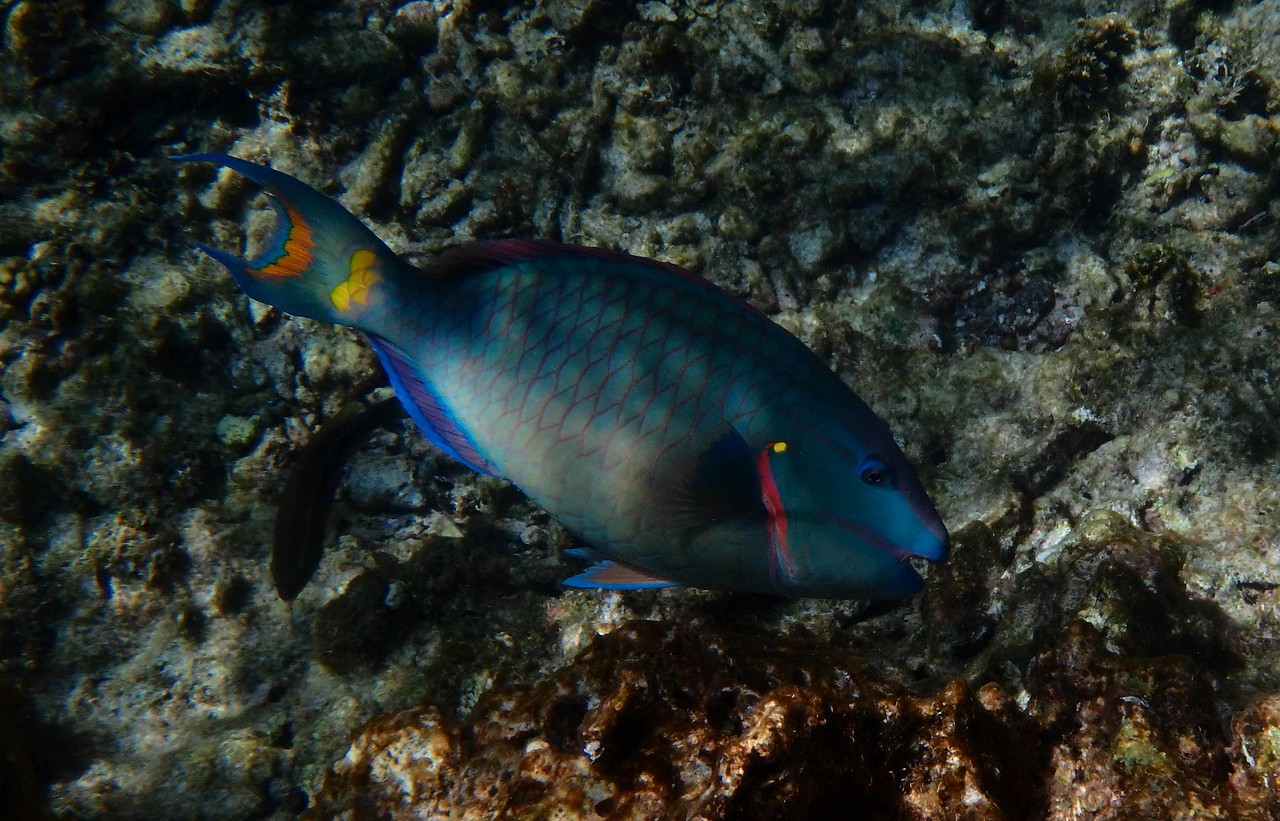 Stoplight Parrotfish (Terminal Phase) -- Sparisoma viride<br /> <br /> Parrotfishes are sequential protogynous hermaphrodites and maintain productive sex ratios by changing gender. Females become super-males in terminal phase.