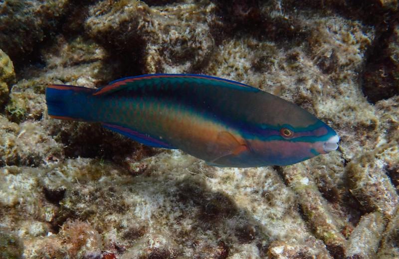 terminal phase Princess Parrotfish -- Scarus taeniopterus