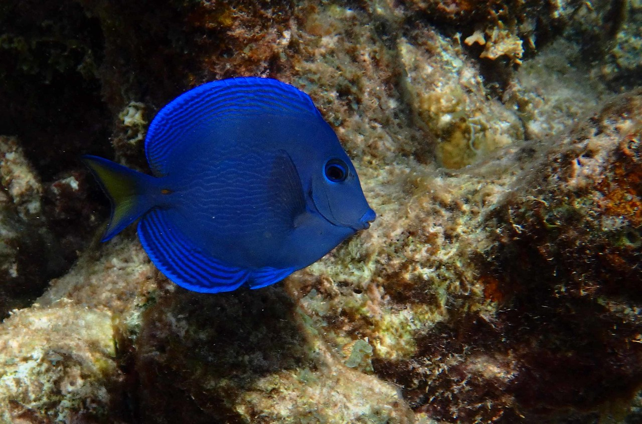 sub-adult Blue Tang -- Acanthurus coeruleus