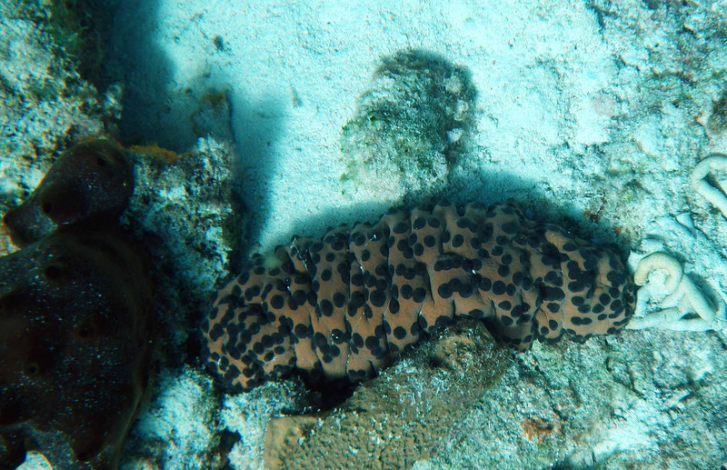 Three-rowed Sea Cucumber -- Isostichopus badionotus, parked near a sponge, is sometimes itself a shelter for a species of Pearlfish.