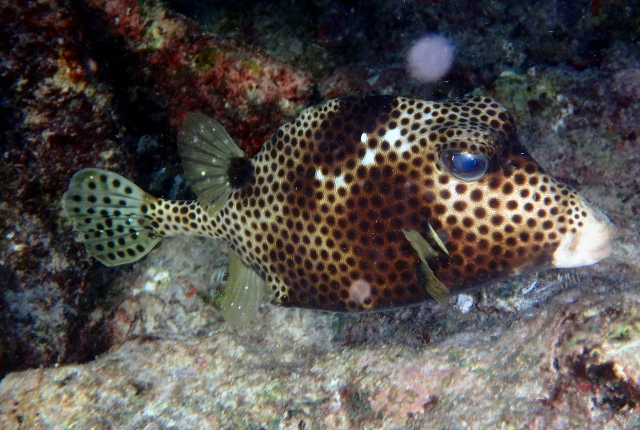 "Spotted Trunkfish -- Lactophrys bicaudalis<br /> <br /> ""If there is magic on this planet, it is contained in water."" ~ Loren Eiseley"