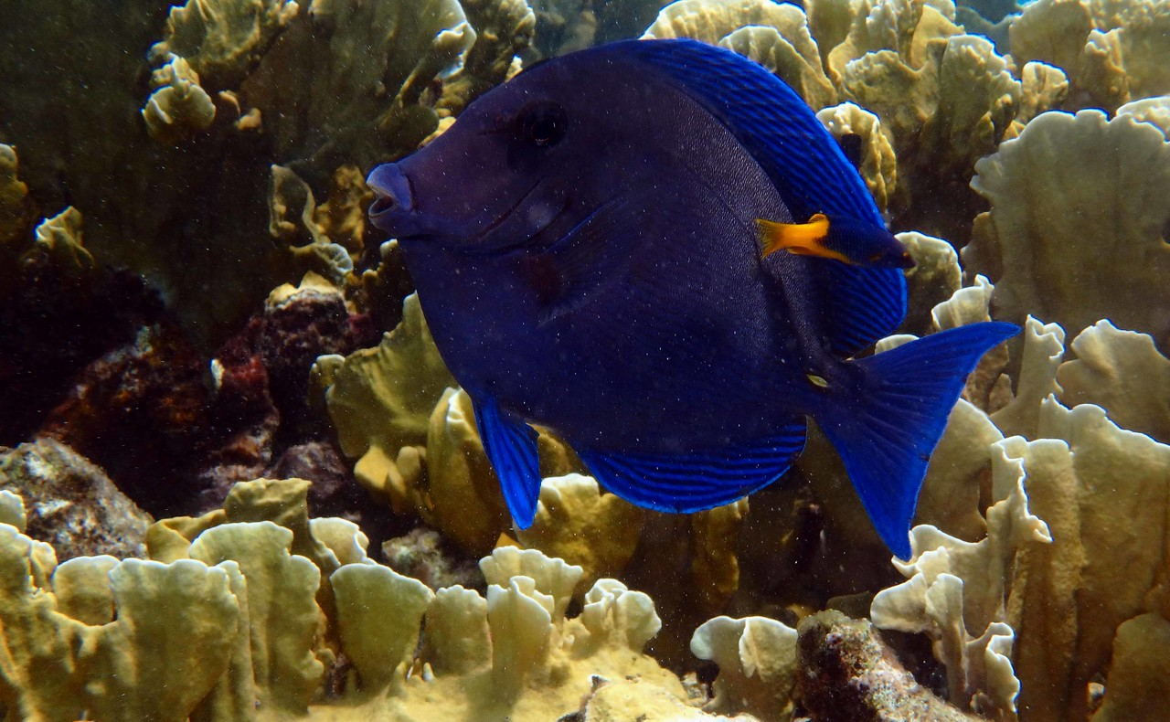 Blue Tang -- Acanthurus coeruleus, with cleaner
