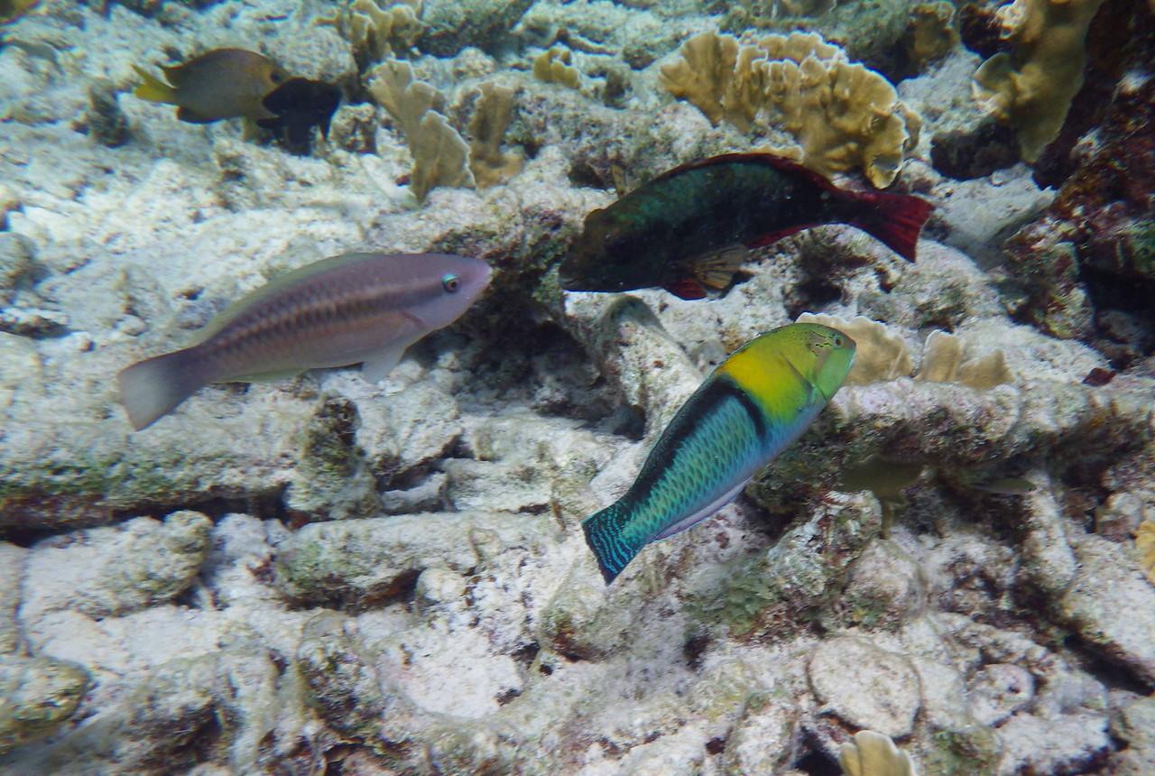 Princess Parrotfish (Initial Phase) -- Scarus taeniopterus, Redband Parrotfish (Initial Phase) -- Sperisoma aurofrenatum, Yellowhead Wrasse (Terminal Phase) -- Halichoeres garnoti