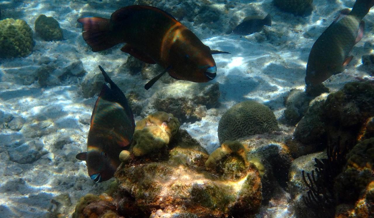 Rainbow Parrotfish -- Scarus guacamaia