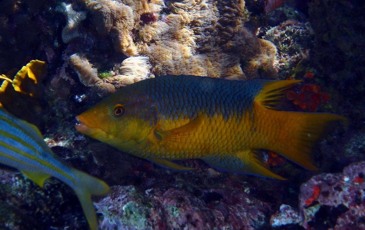 Spanish Hogfish -- Bodianus Rufus