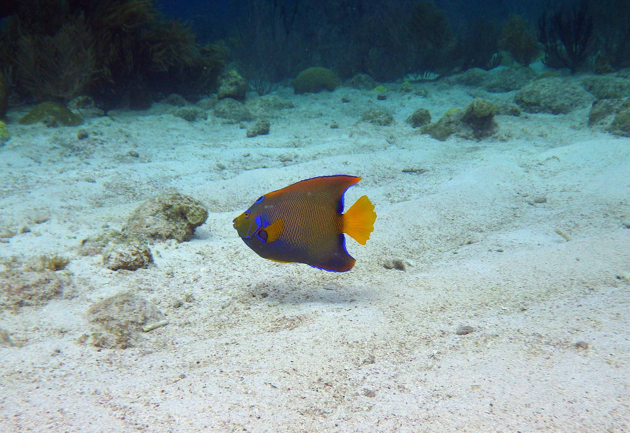 Queen Angelfish (Adult) -- Holacanthus ciliaris, also consume primarily sponges, and do not appear to overgraze their food supply.