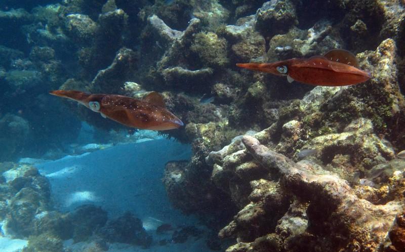 Caribbean Reef Squid -- Sepioteuthis sepioidea