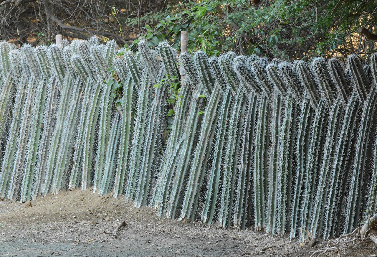 Candle cactus fences are essential in goat-land.