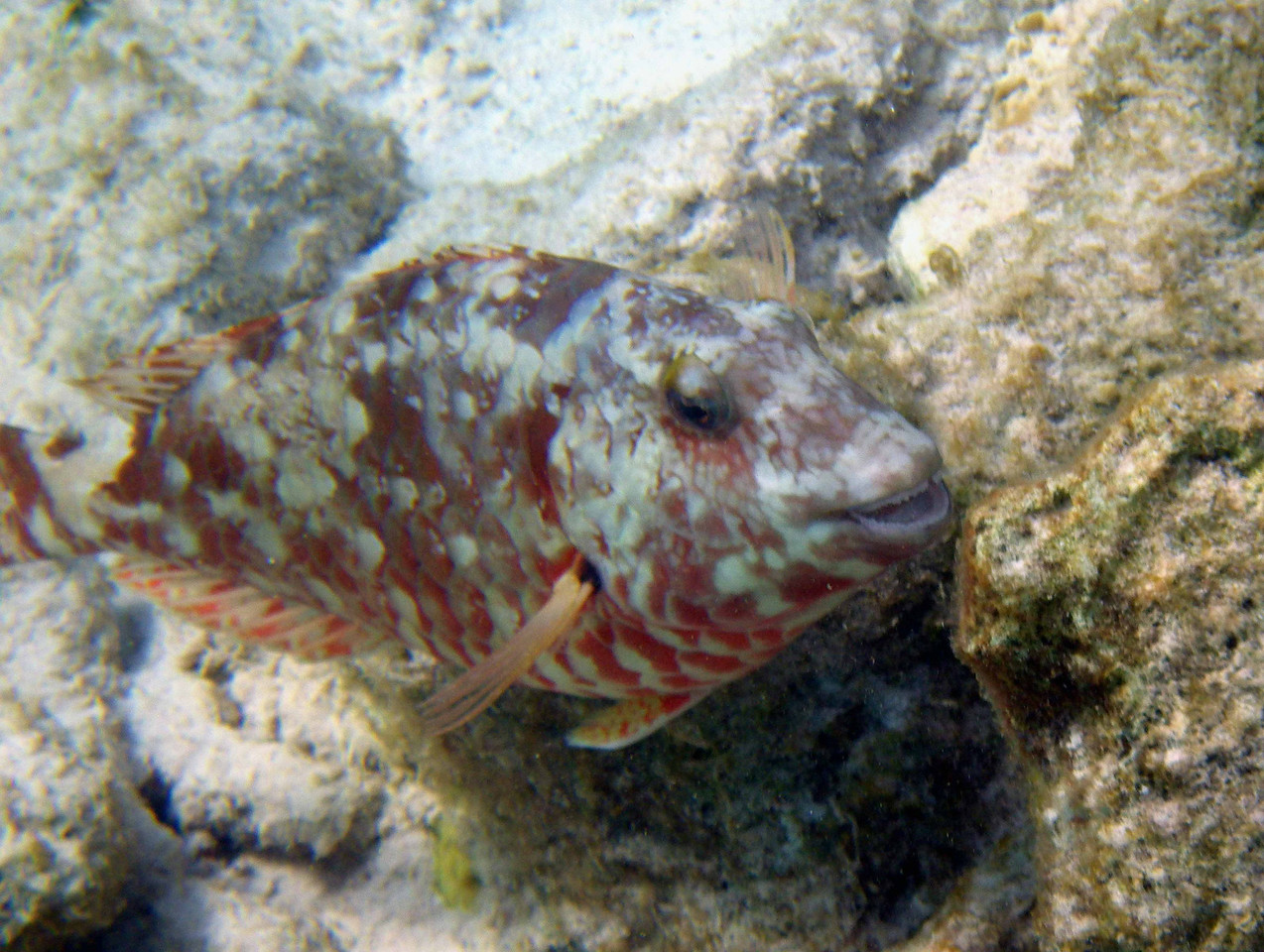 "Redtail Parrotfish (Initial Phase) -- Sparisoma chrysopterum<br /> <br /> ""Unlike terrestrial animals that have been observed and documented for centuries, the study of coral reef animals is in its infancy."" ~ Ned DeLoach"