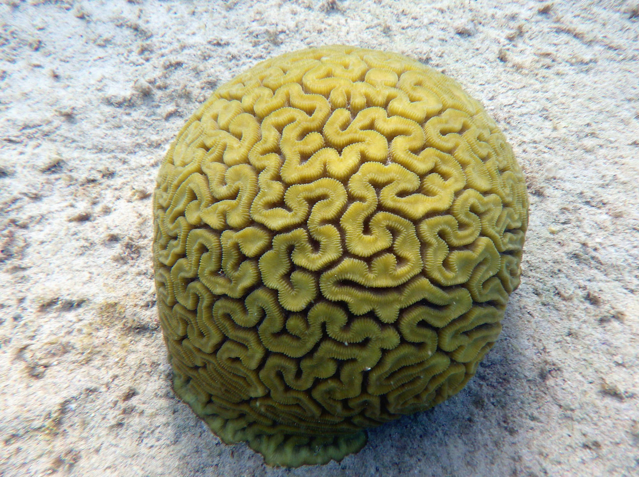 "Grooved Brain Coral -- Diploria labyrinthiformis<br /> <br /> ""Every little thing is sent for something, and in that thing there should be happiness and the power to make happy. Like the grasses showing tender faces to each other, thus we should do, for this was the wish of the Grandfathers of the World."" ~ Black Elk"
