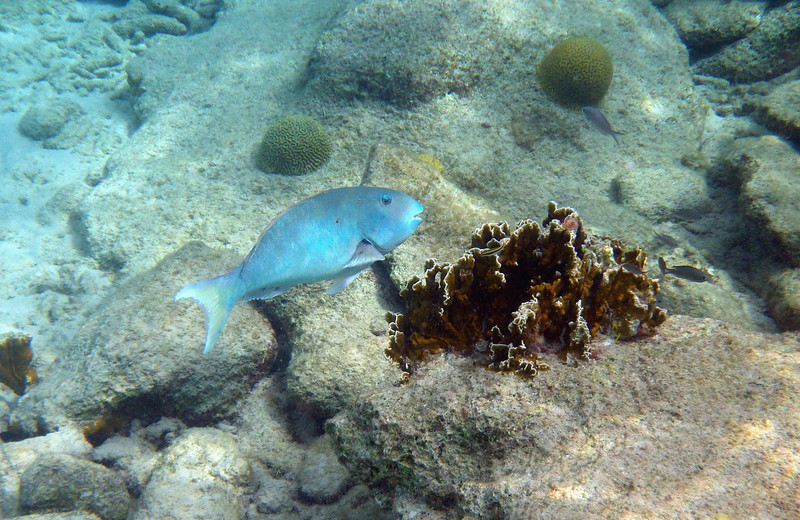 "Yellowtail Parrotfish (Terminal Phase) -- Sparisoma rubripinne, soliciting cleaning services<br /> <br /> ""Nature never breaks her laws."" ~ Leonardo DaVinci"