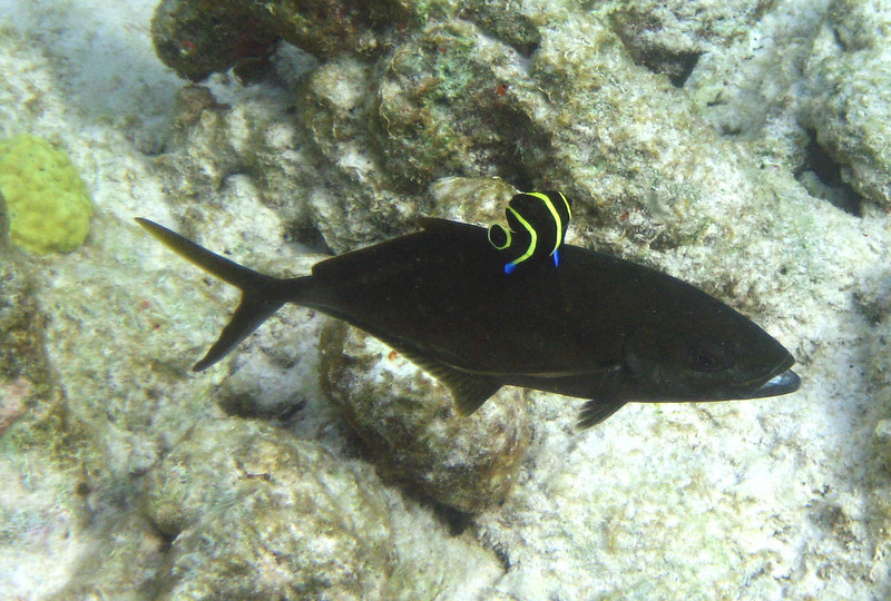 a Bar Jack -- Caranx ruber, flushes dark while being cleaned by a juvenile French Angelfish.