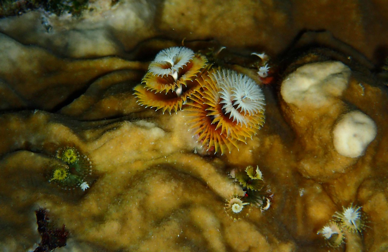 "Christmas Tree Worms -- Spirobranchus giganteus, encased in Fire Coral.<br /> <br /> 'A child need not be very clever<br /> To learn that 'Later, dear' means 'Never.'' ~ ""Grandpa is Ashamed"" by Ogden Nash"