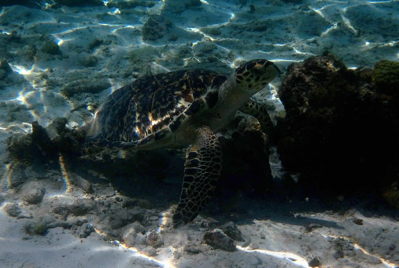 "Hawksbill -- Eretmochelys imbricata, critically endangered species <br /> <br /> ""Through jewel-hewed sultry blue lagoons, through waters wild and green and cold, stroke these angels of the deep – ancient, ageless, great-grandparents of the world."" ~ Carl Safina, ""Voyage of the Turtle"", 2006."
