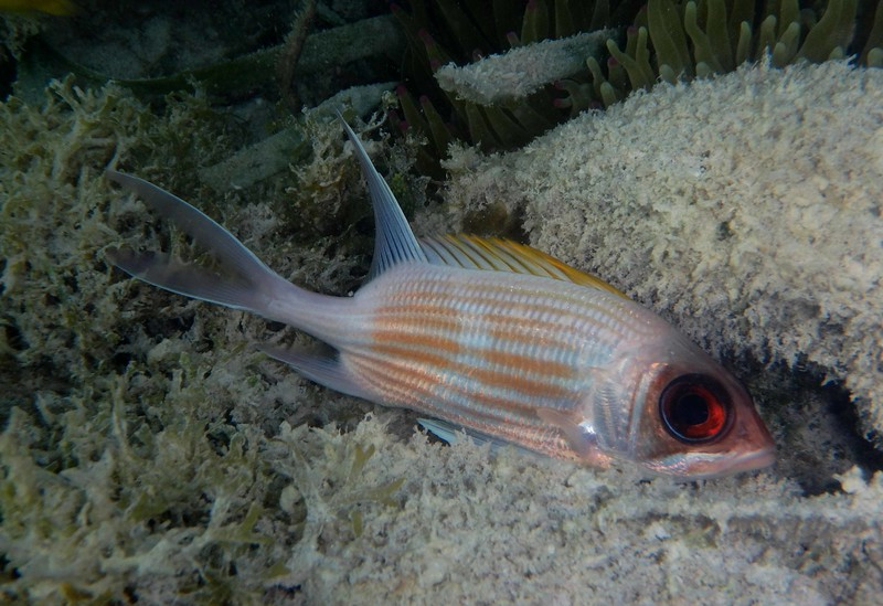 Squirrelfish -- Holocentrus rufus, among the citizens active at night<br /> <br /> Big eyes are good equipment in dark ages.