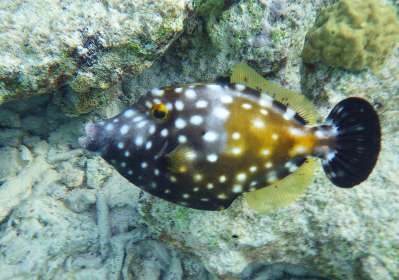 "Whitespotted Filefish -- Cantherhines macrocerus<br /> <br /> 'For beauty being the best of all we know <br /> Sums up the unsearchable and secret aims <br /> Of nature.' ~ Robert Bridges, ""The Growth of Love"", Sonnet 8."