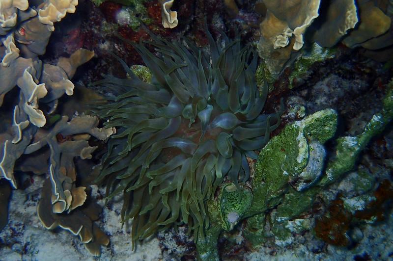 Giant Anemone -- Condylactis gigantea