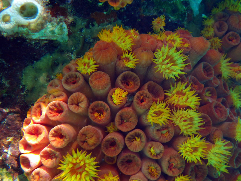 Orange Cup Corals -- Tubastrea coccinea, an introduced species<br /> <br /> 'Go and walk with Nature; thou wilt find <br /> Full many a gem in her enchanted cup.' ~ Isaac Mclellan
