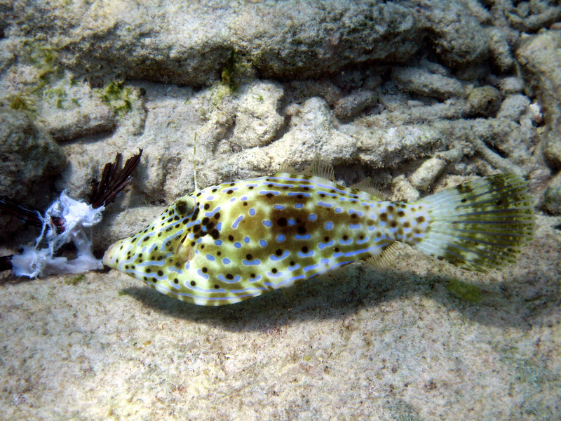 Scrawled Filefish on Lionfish -- carcasses are scattered around the reef to help fish learn that they are edible.